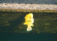 Yellow puffer in the marina
