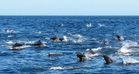 Mobbed by dolphins in the Gulf of Papagayo