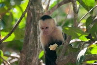 Monkey on the beach at Manuel Antonio National Park