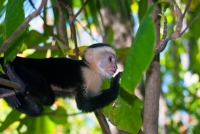 Another monkey at Manuel Antonio